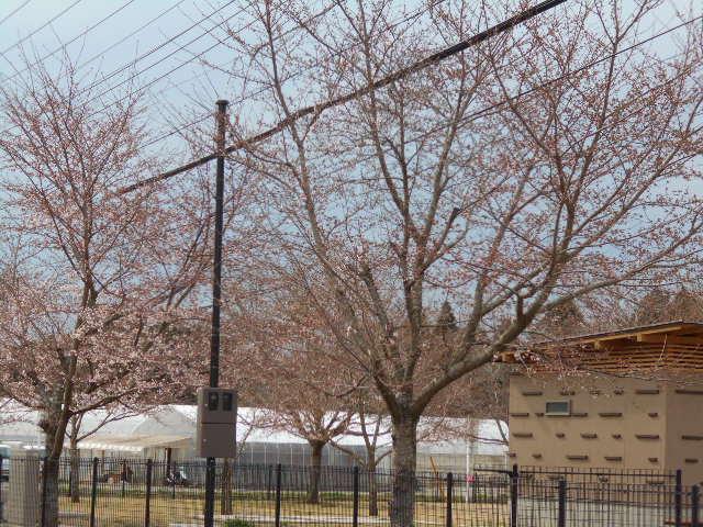 桜、菜の花の状況