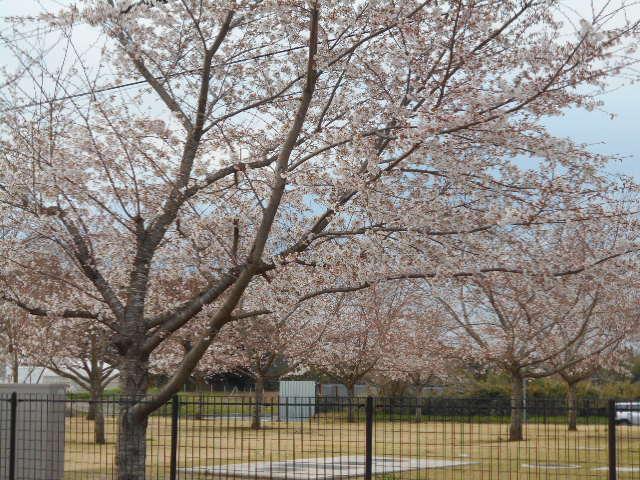 桜が見頃になりました