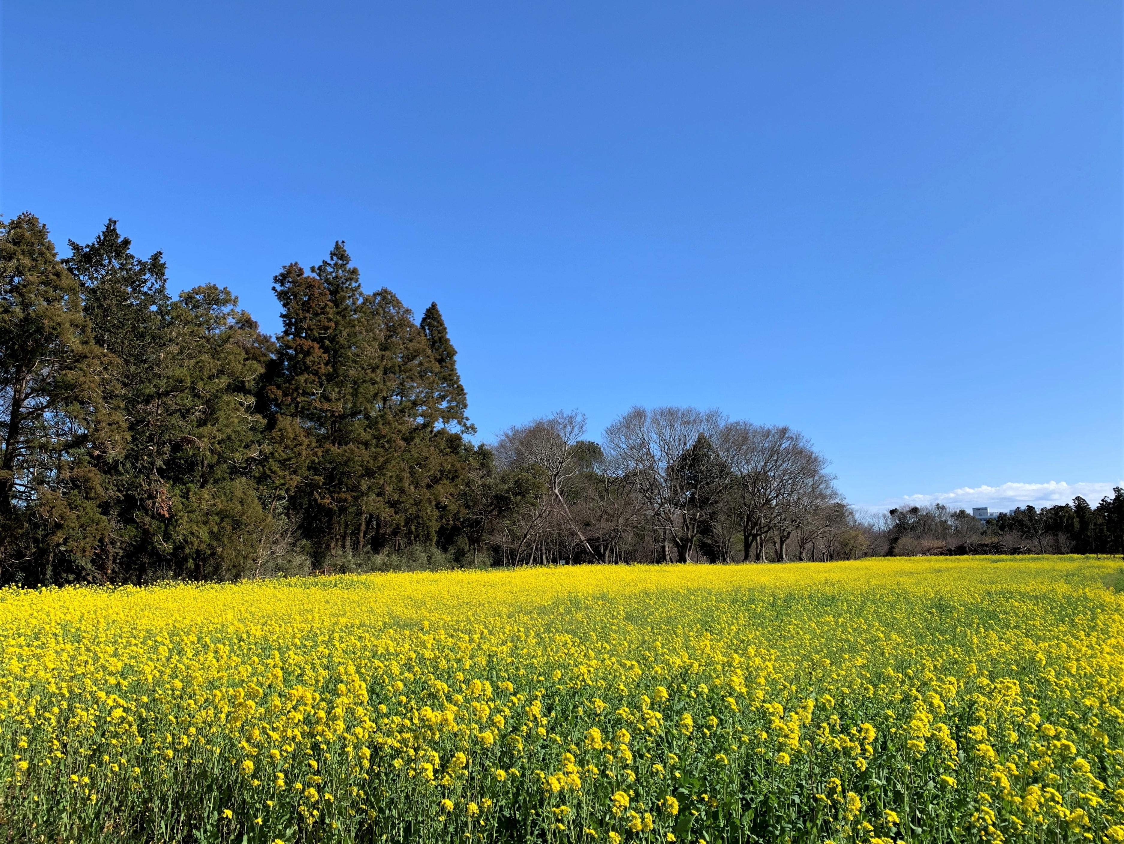 一気に春の菜の花畑
